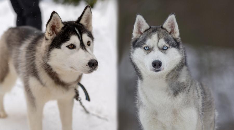 تفاوت سگ مالاموت و هاسکی