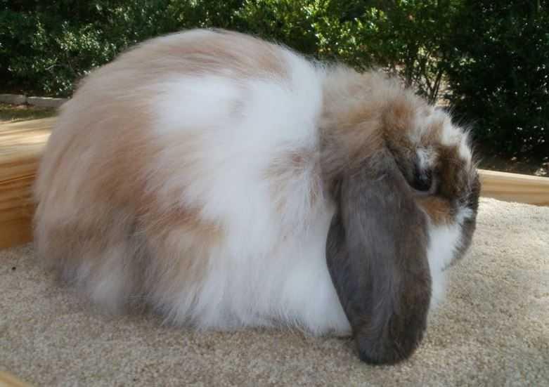 خرگوش نژاد فیزی لوپ امریکایی