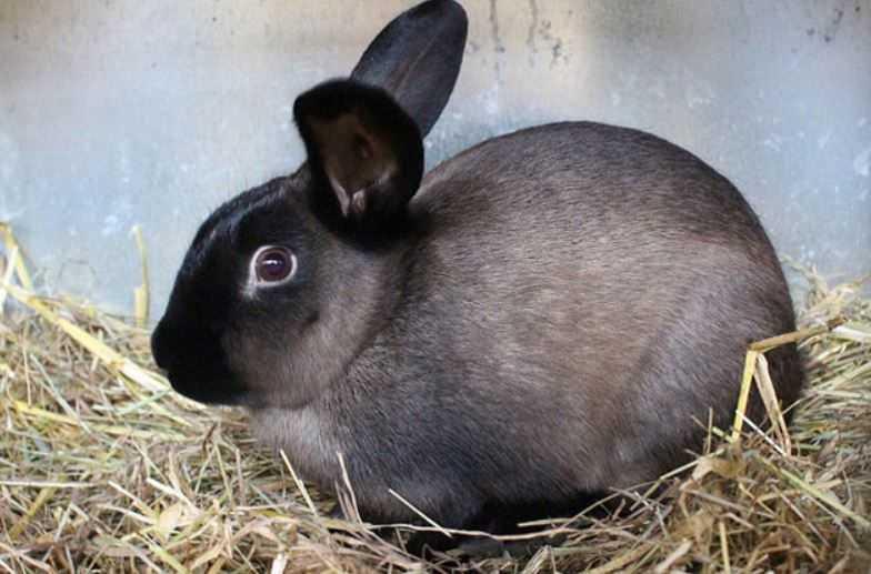 خرگوش طوسی امریکن سیبل روی یونجه