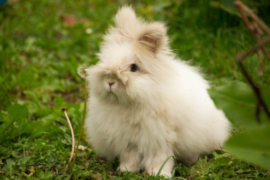 عکس خرگوش آنگورا روی چمن سبز
