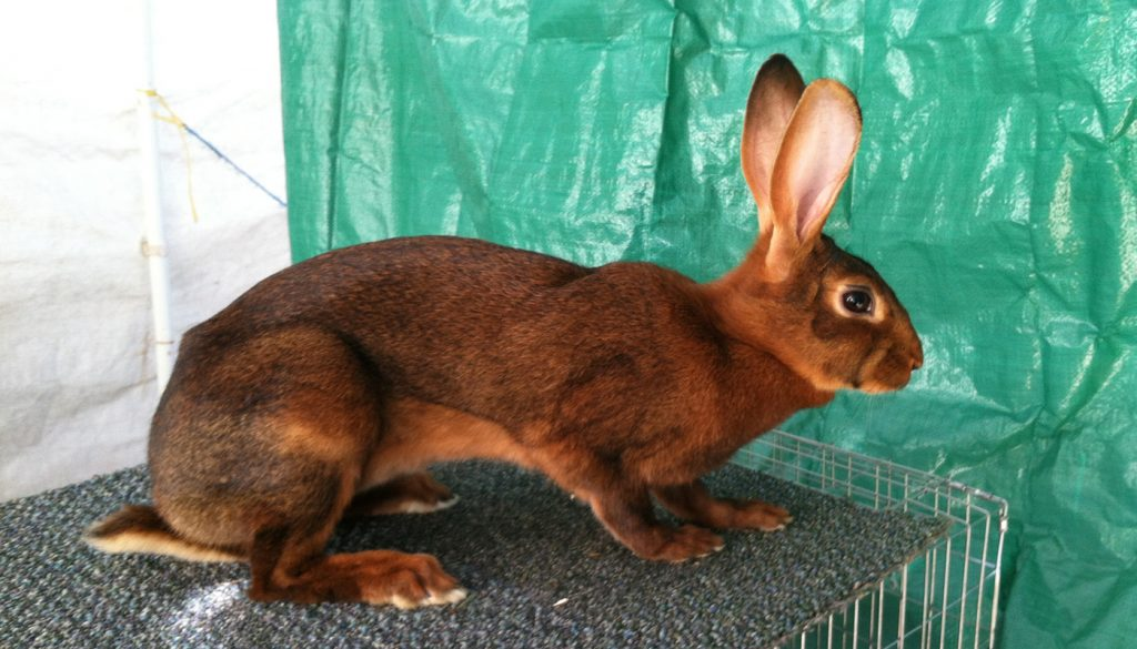 خرگوش بلوطی بلژیکی روی قفس
