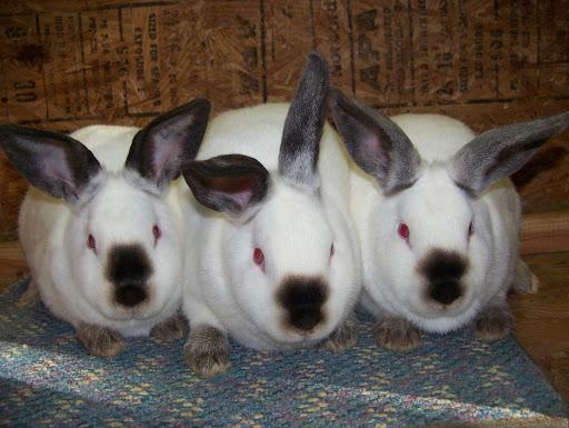 خرگوش نژاد کالیفرنیا