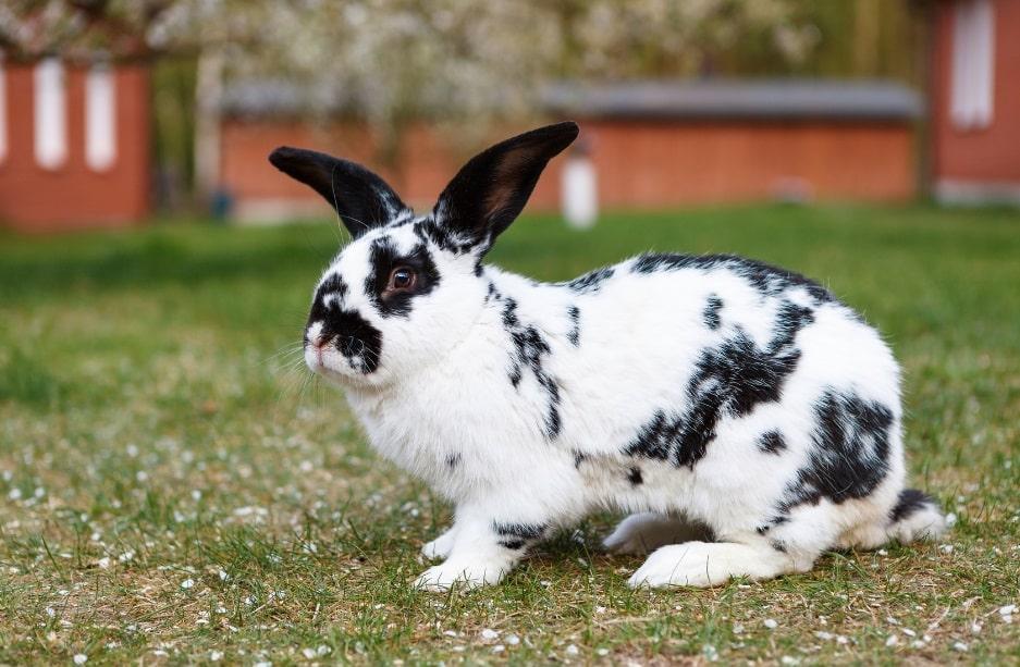 خرگوش سیاه و سفید جاینت آمریکایی در فضای باز