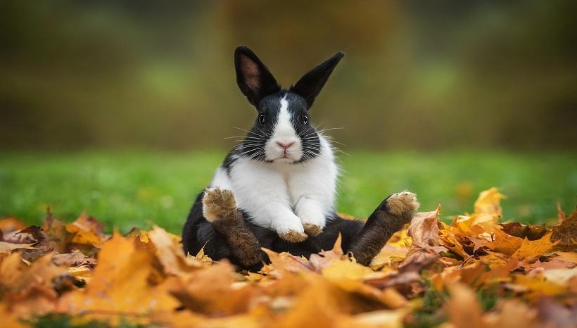 عکس نژاد خرگوش آلمانی روی برگ های زرد