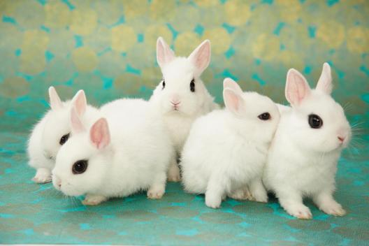 5 تا بچه خرگوش سفید رنگ نژاد هوتوت