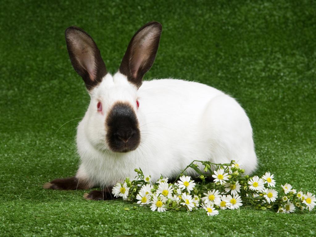 خرگوش نژاد هیمالیا در فضای سبز