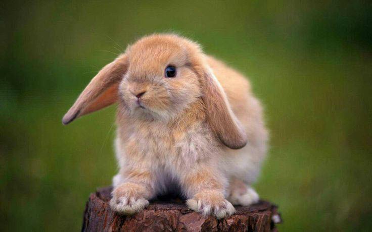 نژاد خرگوش لوپ هلندی ایستاده روی چوب