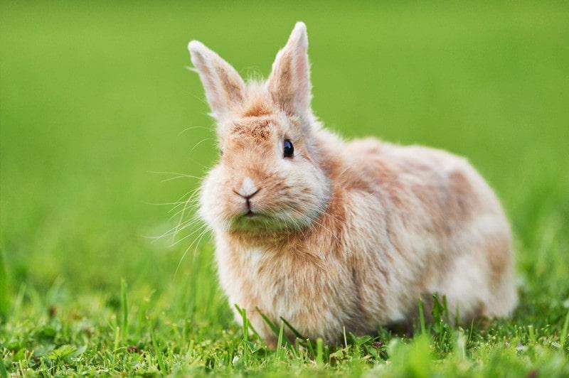 خرگوش پشمالوی قهوه ای جرسی روی چمن