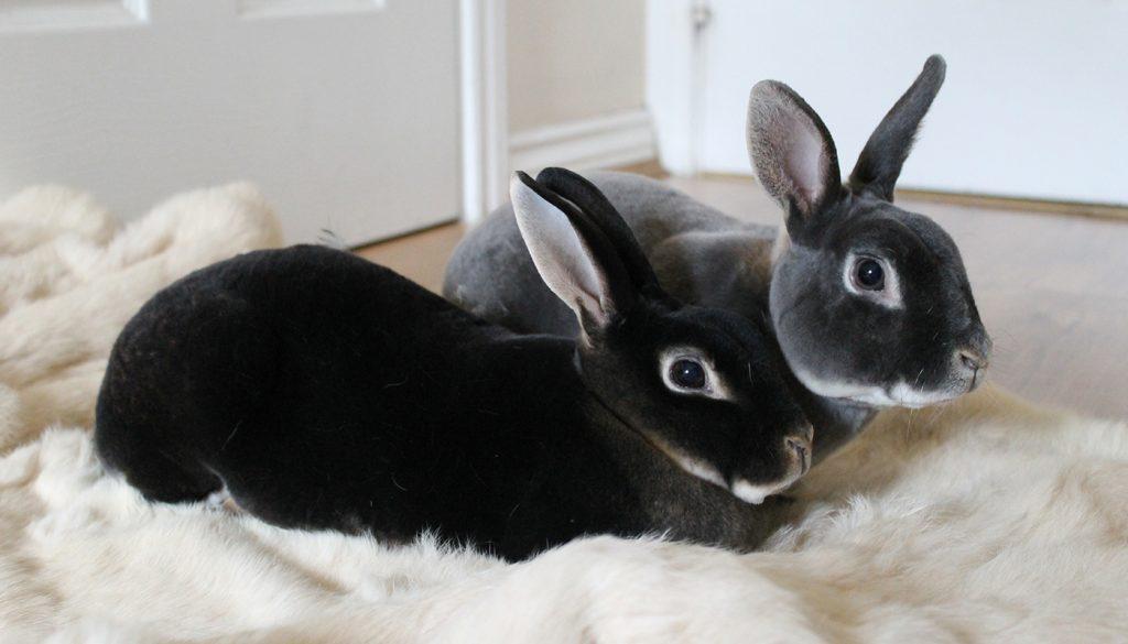 2 خرگوش مشکی و خاکستری مینی رکس روی پارچه سفید