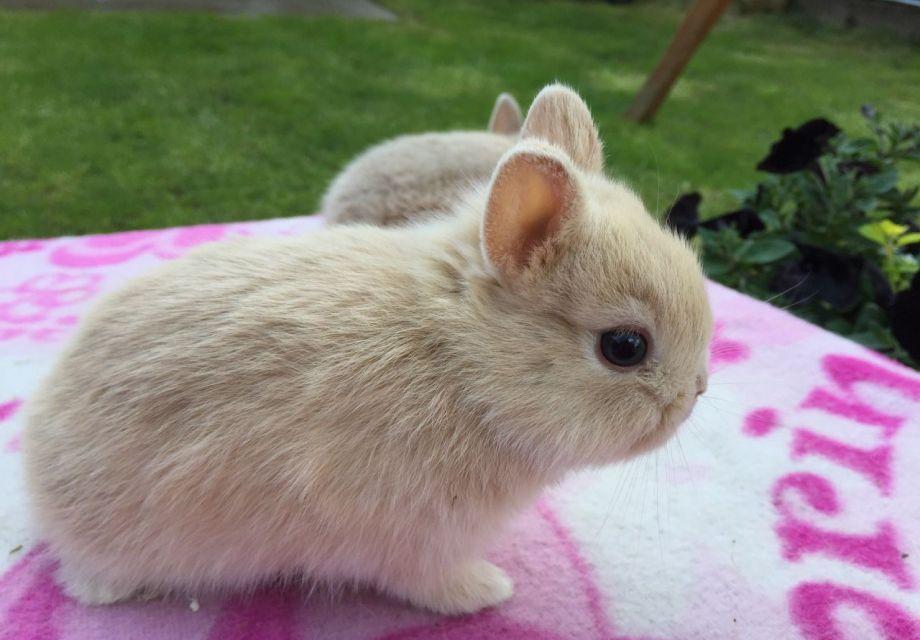 خرگوش کوتوله هلندی روی پتوی سفید و صورتی