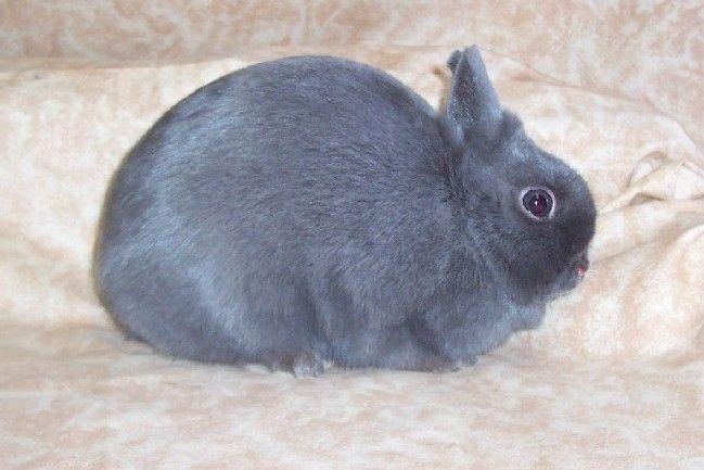 خرگوش نژاد لهستانی