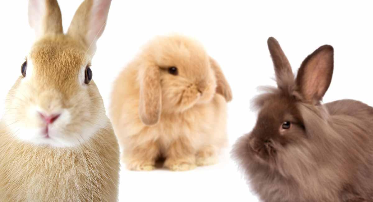 نژادهای محبوب خرگوش برای نگهداری به عنوان حیوان خانگی