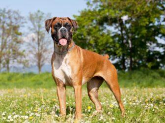 علائم، تشخیص و درمان بیماری دیسپلازی سگ