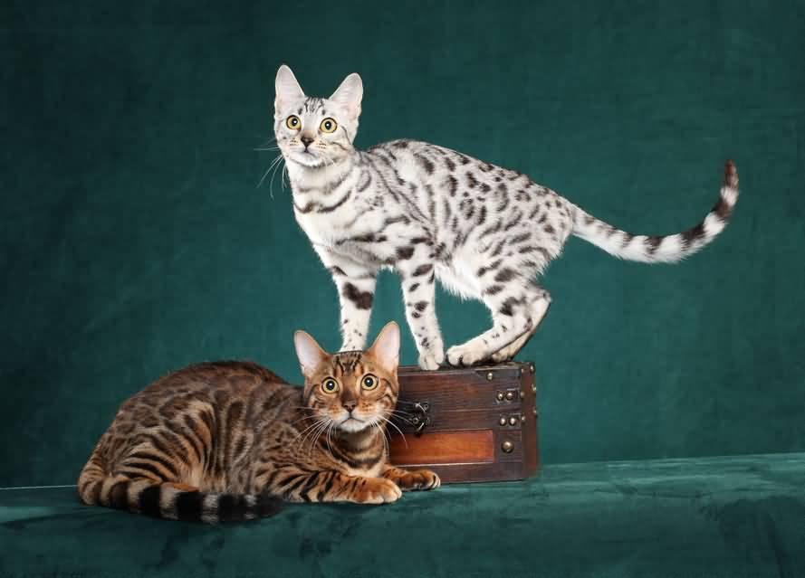 دو گربه بنگال