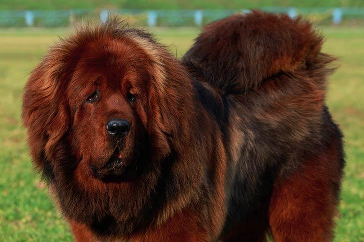 سگ تبتی قهوه ای