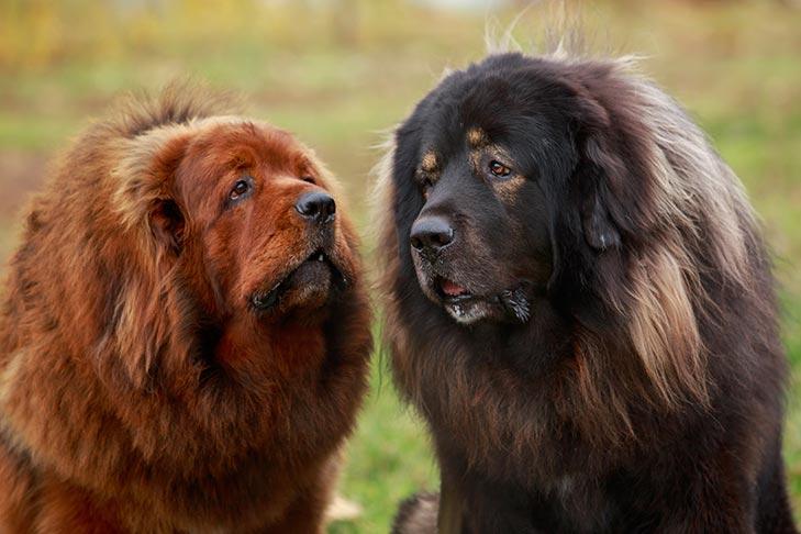دو سگ ماستیف تبتی سیاه و حنائی