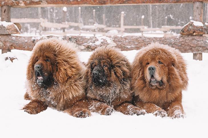 سه سگ تبتی در برف