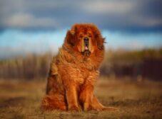معرفی سگ تبتی؛ غول باابهت اما مهربان و وفادار!