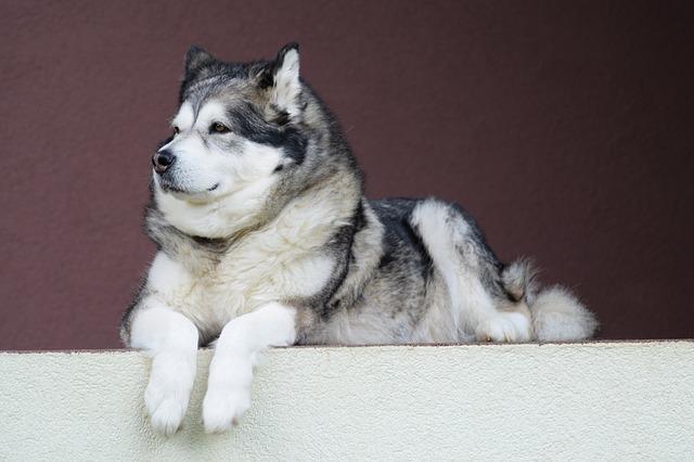 تصویر سگ هاسکی مالاموت سفید و خاکستری