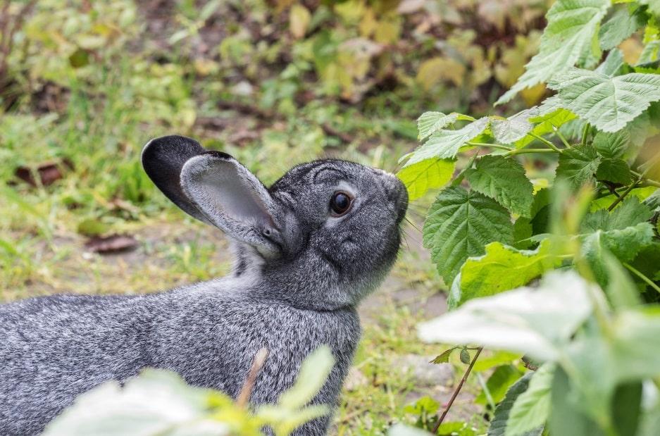 خرگوش خاکستری رنگ چین چیلا در حال خوردن برگ