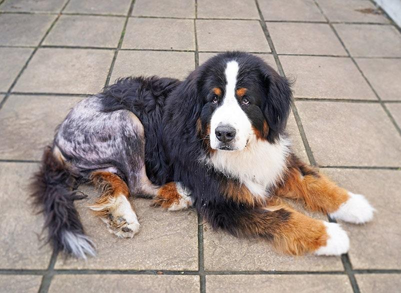 سگ نژاد بزرگ مبتلا به dysplasia