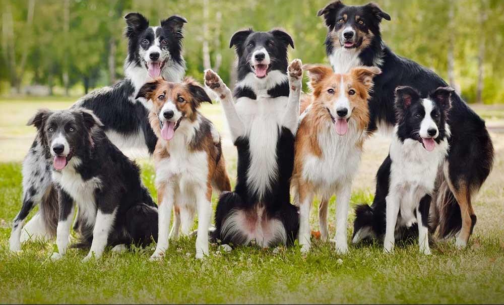 چند سگ بردر کالی در رنگ های مختلف
