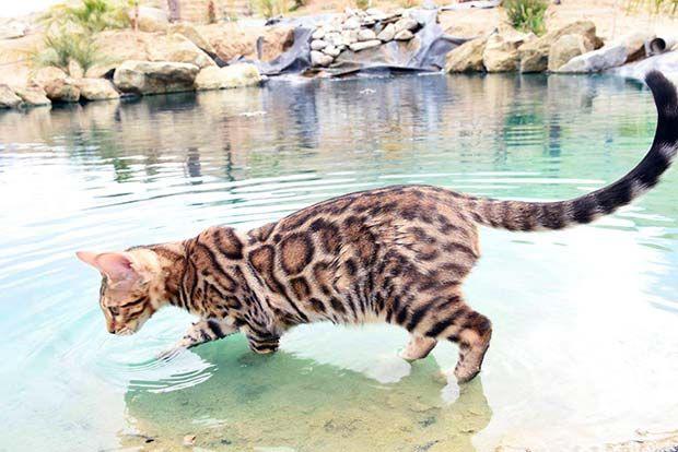 گربه بنگال در آب