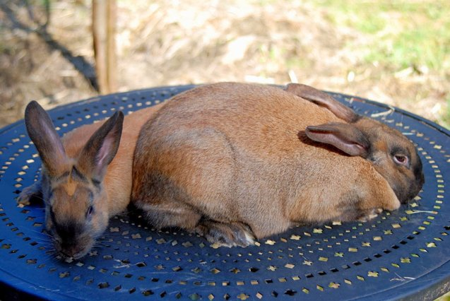 3 تا خرگوش دارچینی روی صفحه آبی رنگ