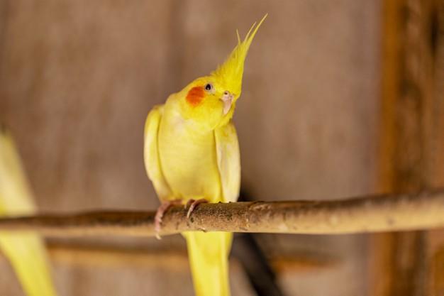 عروس هلندی نژاد زرد در قفس