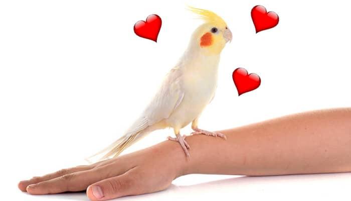 عروس هلندی سفید روی دست صاحبش