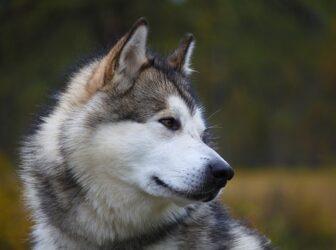 معرفی سگ مالاموت آلاسکایی؛ نژاد اصیل، قدرتمند و معروف به سگ سورتمه