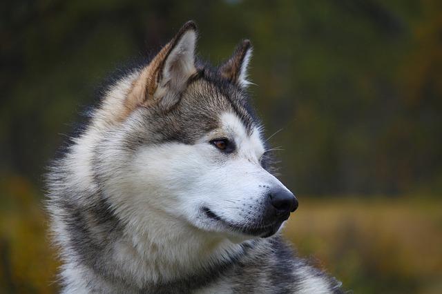 عکس سگ مالاموت هاسکی زیبا با رنگ سفید و قهوهای