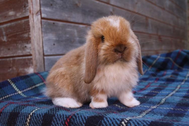 کوتوله آگوتی یا خرگوش لوپ آگوتی با گوشهای افتاده