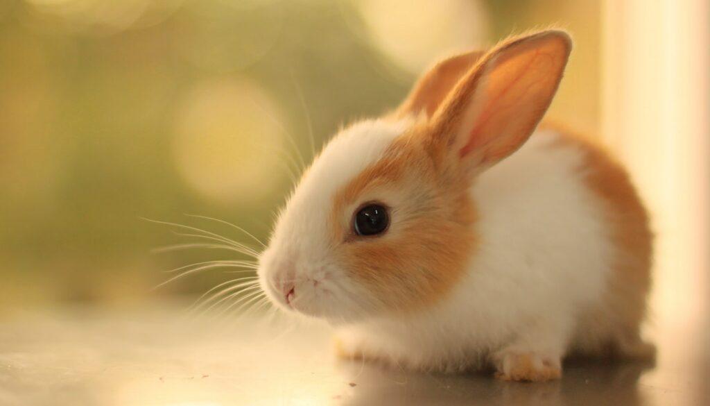 خرگوش مینی ساتین سفید و قهوهای