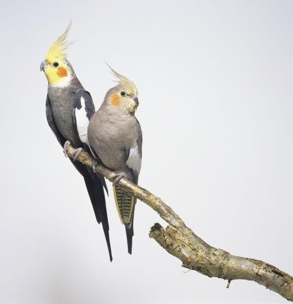 جفت نر و ماده عروس هلندی خاکستری