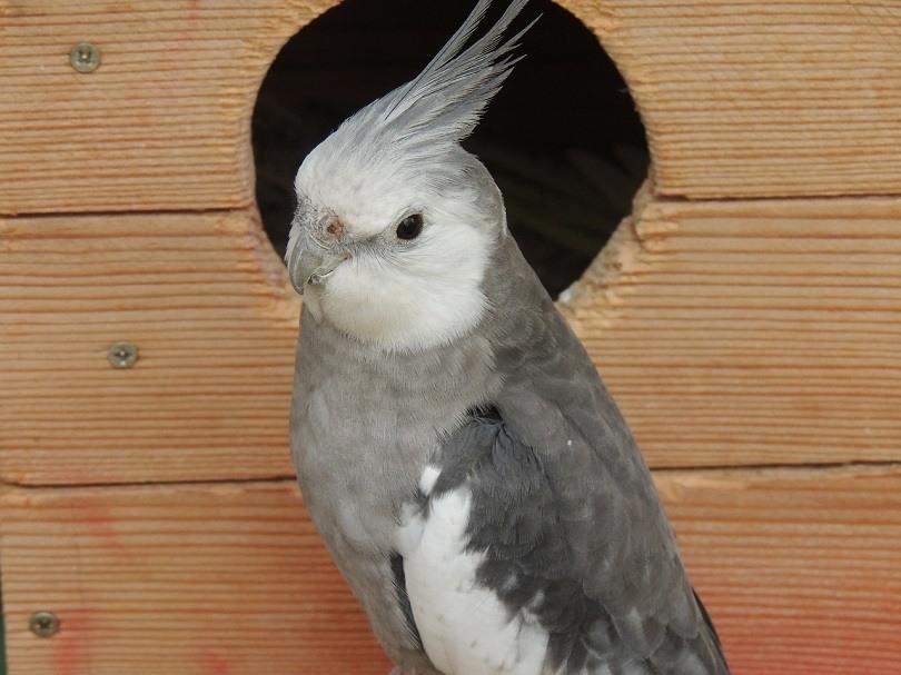 نژاد صورت سفید عروس هلندی با پرهای خاکستری