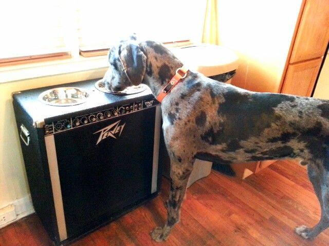 سگ گریت دین مشکی خاکستری در حال غذا خوردن