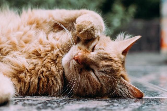 گربه حنائی که مشگل گوارشی داره