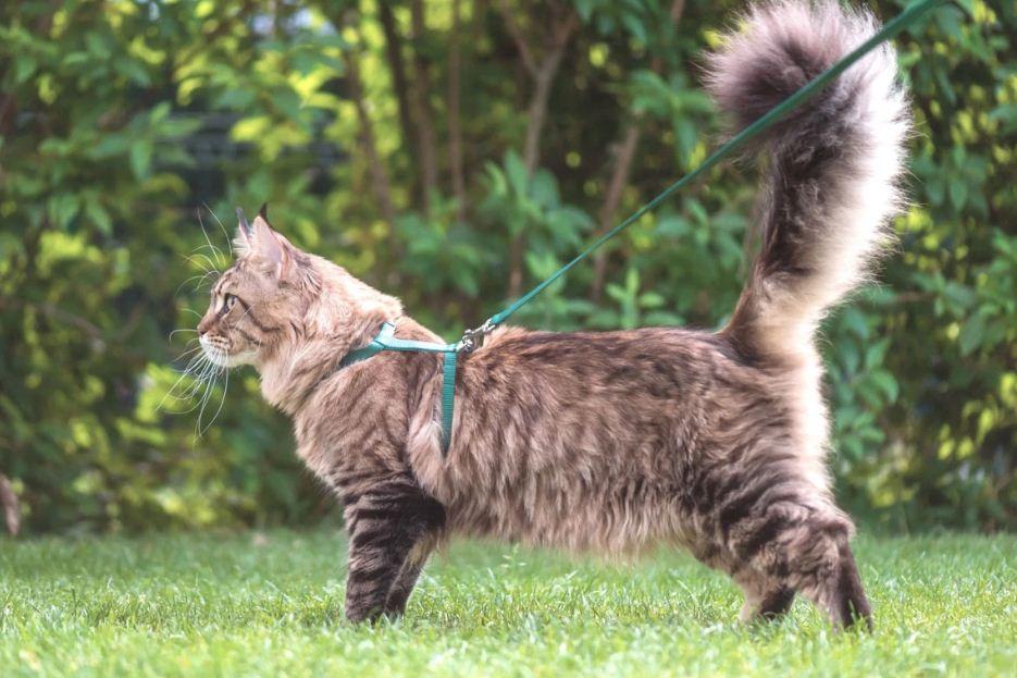 گربه مین کون در طبیعت