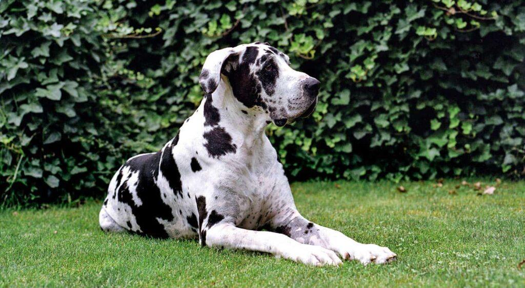 سگ Great Dane خال خالی