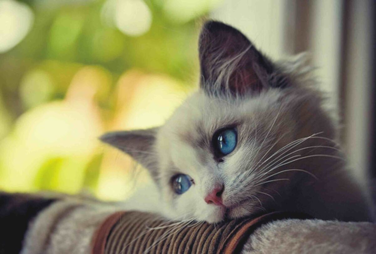 بیحالی گربه یکی از علائم پن لوکوپنی