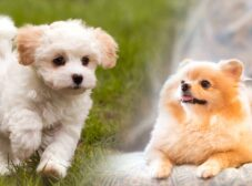 معرفی محبوبترین انواع سگ عروسکی و نحوه مراقبت از آنها