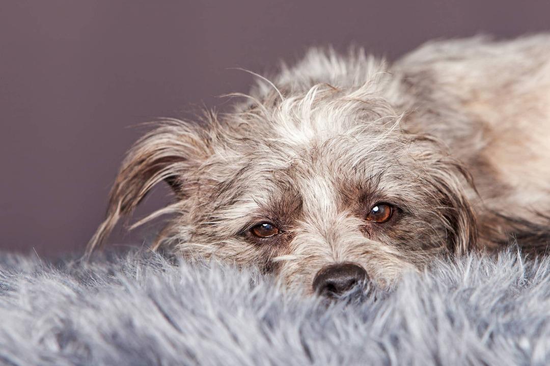 ناتوانی در تحرک یکی از علائم بیماری تنفسی سگ