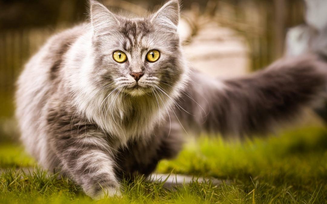 گربه مین کون در حال راه رفتن در طبیعت