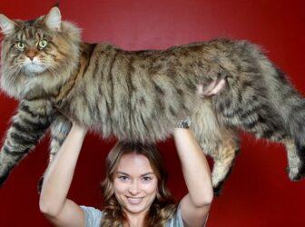 معرفی گربه نژاد مین کون (Maine Coon)؛ بزرگترین گربه دنیا!