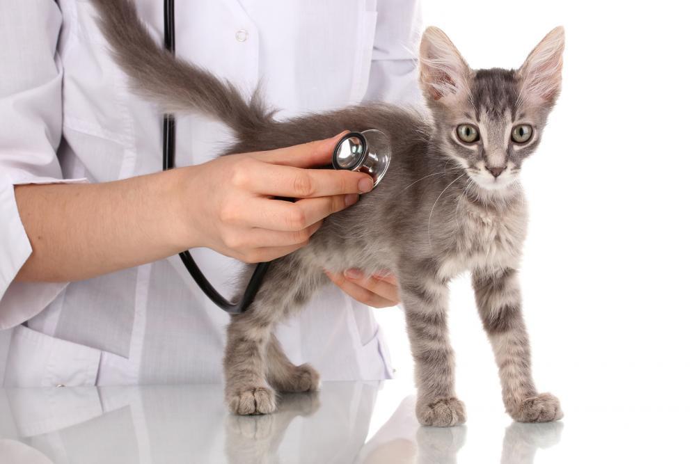 معاینه و درمان بیماری گوارشی گربه