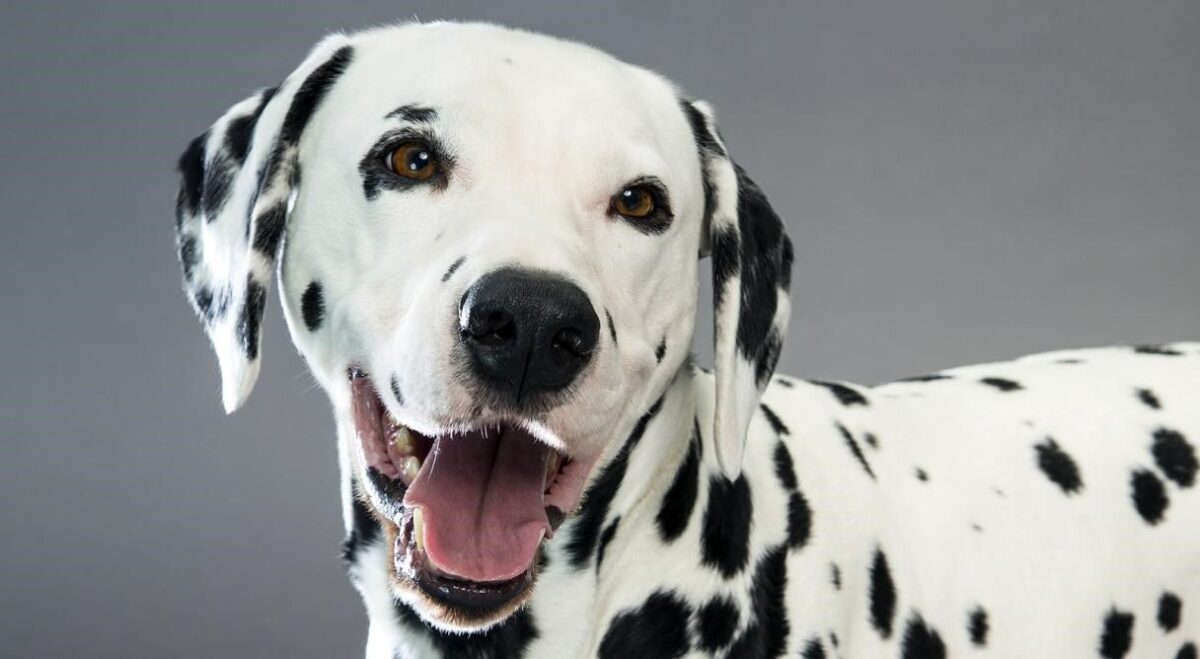 نژاد سگ دالمیشن