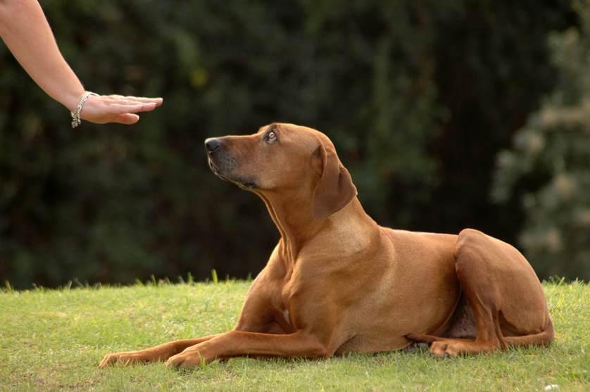 آموزش نشستن سگ با فرمان دست