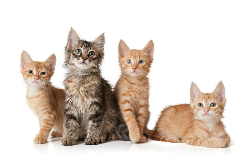 چهار بچه گربه