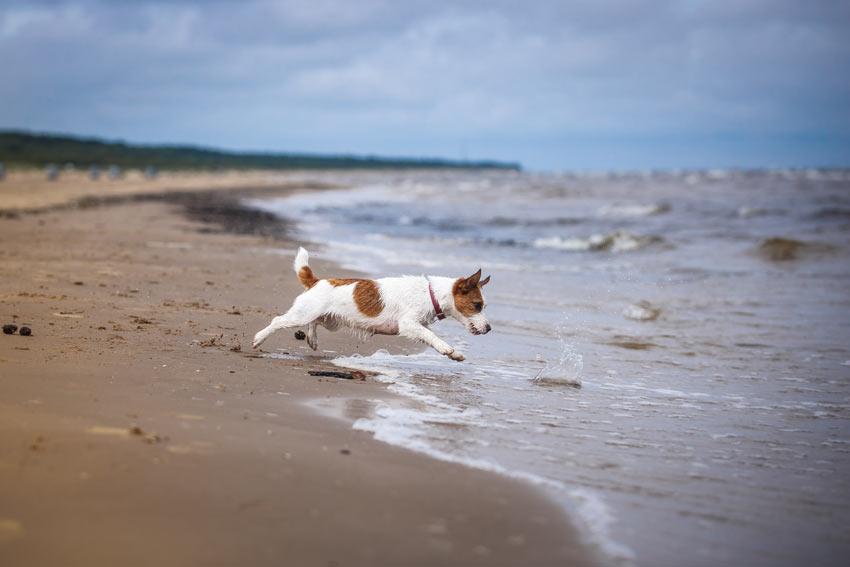 سگ جک راسل یکی از انواع گروه سگ